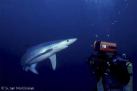California Blue Shark Regards a Photographer. © Suzan Meldonian, All Rights Reserved.