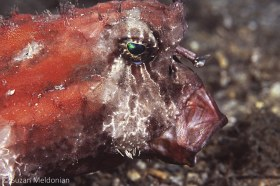 Batfish Inhaling lunch. © Suzan Meldonian, All Rights Reserved.