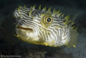 Striped Burrfish. I think these are the weirdest and coolest looking fish of all. Gentle and shy, don't put your finger in front of them, as they won't waste a second taking a chomp! © Suzan Meldonian, All Rights Reserved.