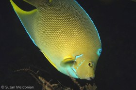 Hybrid Angel: The bridge is known to have some strange versions of angel fish. Per George Burgess, hybrids are a mix of Blue angels and Queen Angels. Unfortunately the hybrid is not able to breed. © Suzan Meldonian, All Rights Reserved.