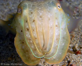 Golden Cuttlefish, Sepia esculenta, Anilao, Philippines. © Suzan Meldonian, All Rights Reserved.