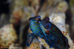 Kissing Mandarin Fish, shot with no light at all. Very shy- actually a type of Dragonet, Synchiropus splendidus, Anilao, Philippines. © Suzan Meldonian, All Rights Reserved.