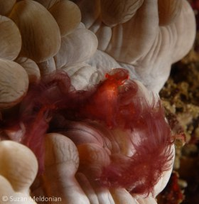 Orangutan Crab on Bubble coral, Oncinopus sp. Anilao, Philippines. © Suzan Meldonian, All Rights Reserved.