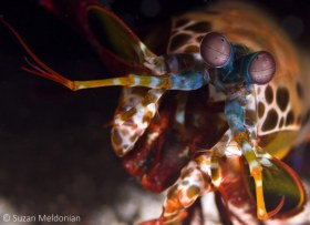Peacock Mantis Shrimp-charging the camera actually, Odontodactylus scyllarus, Anilao, Philippines. © Suzan Meldonian, All Rights Reserved.