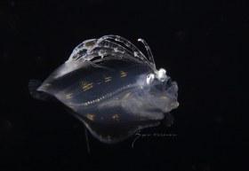 Flounder, Cyclopsetta fimbriata