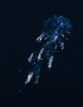 Siphonophore, Forskalia tholoides