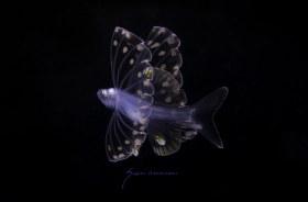 Tripodfish,Discoverichthys praecox larva