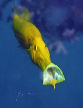 Trumpetfish playing his horn