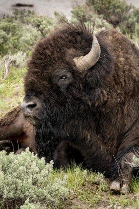 Yellowstone-052718-5203