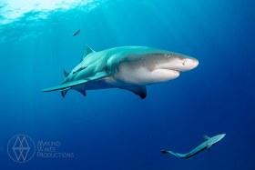 Lemon Shark Catching Some Rays - Drifting off the ESSO Bonaire Wreck in Jupiter, FL