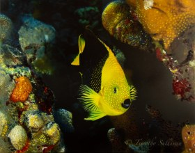 Rock Beauty with an Acrylic Paint Overlay on Metal (Collaboration with Julie Dean Griffin) - Wall Diving in Bonaire