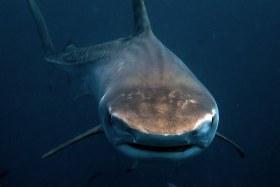 Tiger Shark Face