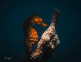 Seahorse profile