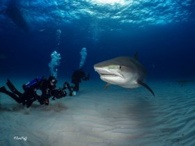 Mike and Tiger shark