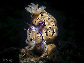 Nudibranch duo