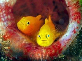 Yellow gobies