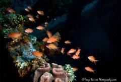 Red Anthias (Pseudanthias kashiwae) Darit Lao Wreck, Anilao Philippines.