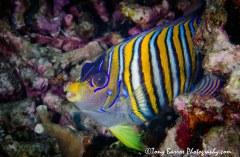 Regal Angel Fish (Pygoplites diacanthus) Dumaguete, Philippines.