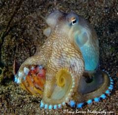 Blue Stars or Coconut Octopus (Amphioctopus marginatus) Dumaguete, Philippines.