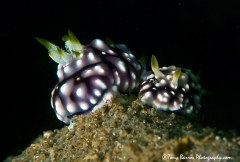 (Goniobranchus geometricus) Secret Bay, Anilao, Philippines.