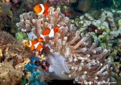 False Clownfishes (Amphripion ocellaris) Apo Island, Dauin, Philippines.