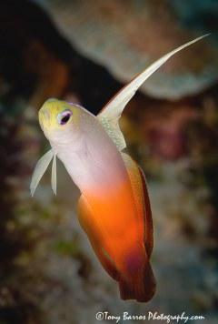 Fire Dart Fish (Nemateleotris magnifica) Siquijor Island, Dumaguete, Philippines.