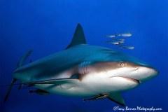 Caribbean Reef Shark (Carcharhinus perezii) Waihuka, Roatan, Honduras.