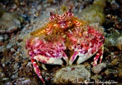 Two Horn Box Crab (Calappa bicornis), Dumaguete, Philippines.
