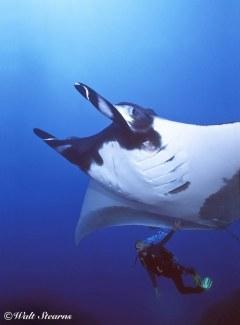 Diver & Giant Manta