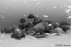 Goliath Grouper Aggregation