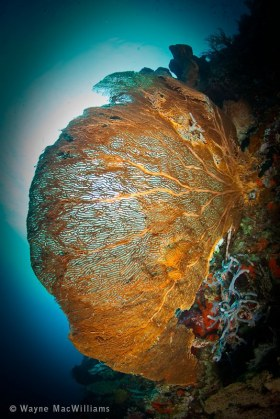 Huge colorful sea fan with sun ball in back drop. Bali. © Wayne MacWilliams, All Rights Reserved.