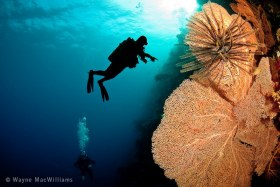 Silhouette of fellow diver and pink/orange sea fan. Bali. © Wayne MacWilliams, All Rights Reserved.