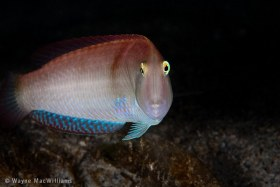 Razorfish with funny face. West Palm Beach. © Wayne MacWilliams, All Rights Reserved.