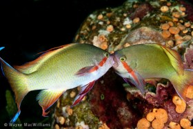 These 2 anthias continued to fight after I left, 20 minute later. Ambon. © Wayne MacWilliams, All Rights Reserved.