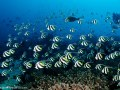 Large school of Bannerfish. Komodo. © Wayne MacWilliams, All Rights Reserved.