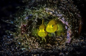 Adorable yellow gobies shacking up in a bottle. Philippines
