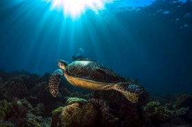 Turtle swimming off into the sunset. Apo Island Philippines