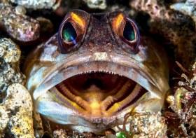 Jawfish intimidating me, NOT. Philippines