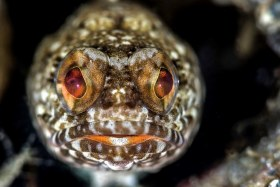 This was a baby jawfish. I could not resist that adorable face. BHB
