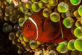 Beautiful Spinecheek clownfish sneaking a peek. Solomon Island