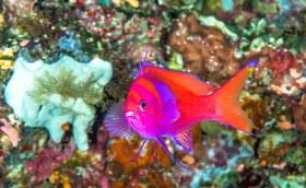 Gorgeous Pink Spot Anthias checking me out. Solomon Islands