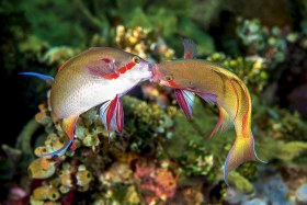 These two Anthias went at it for quite a long time. Ambon