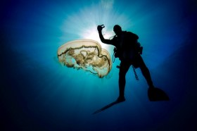 Moon jellyfish and diver. WPB, FL
