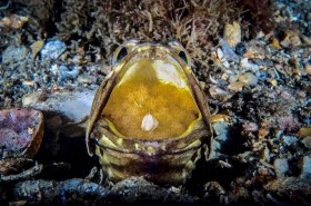 Dusky Jawfish with more than a mouthful. Notice the little shell. I have seen this in more than 1 mouth. BHB