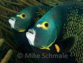 April 2014 Challengers - Atlantic Angelfish