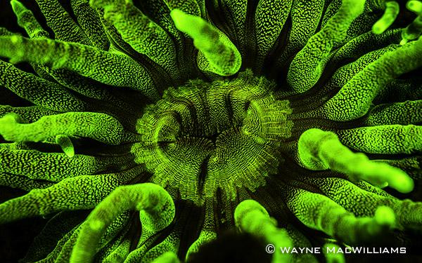 FluorescenceAnemone