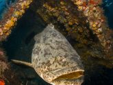 November 2014 Masters - Goliath Groupers