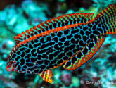 February 2015 Challengers - You Bet Your Wrasse It Is!