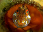 July 2015 Challengers - Your Best Blenny