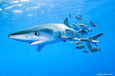 MPO-shark-sm